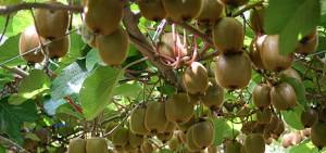 110908kiwifruit
